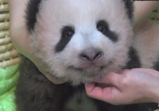 日本东京为熊猫宝宝举行征名活动 深圳私人调查